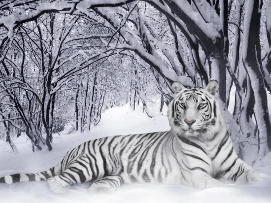My White Tiger